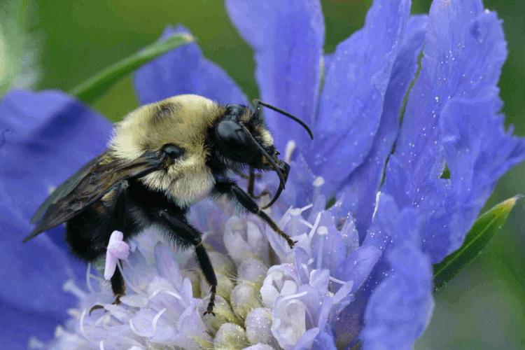 role-des-insectes-pollinisateurs