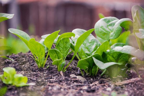 Comment planter des haricots verts dans votre jardin ?